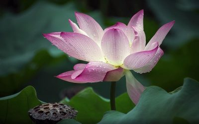 Be More Lotus – The secret to standing in your power
